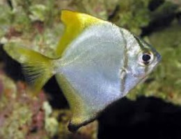 Yellow tip mono angel