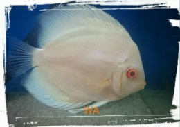 Light  Blue Diamond Discus