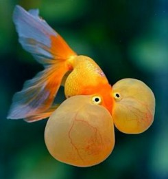 Red Bubble eye goldfish