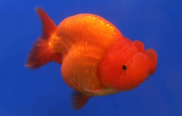 Red Ranchu