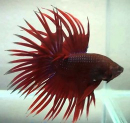 Red Crown Tail Betta (Male)