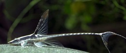 Royal Whiptail Catfish