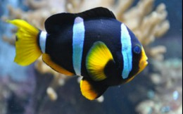 Clarkii clown fish