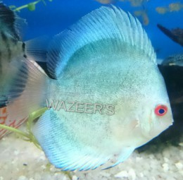 Powder Blue Discus