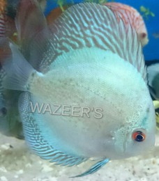 Top Fin Patten Blue Discus