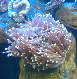 Plate Anemone