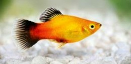 Mickey Mouse Platy